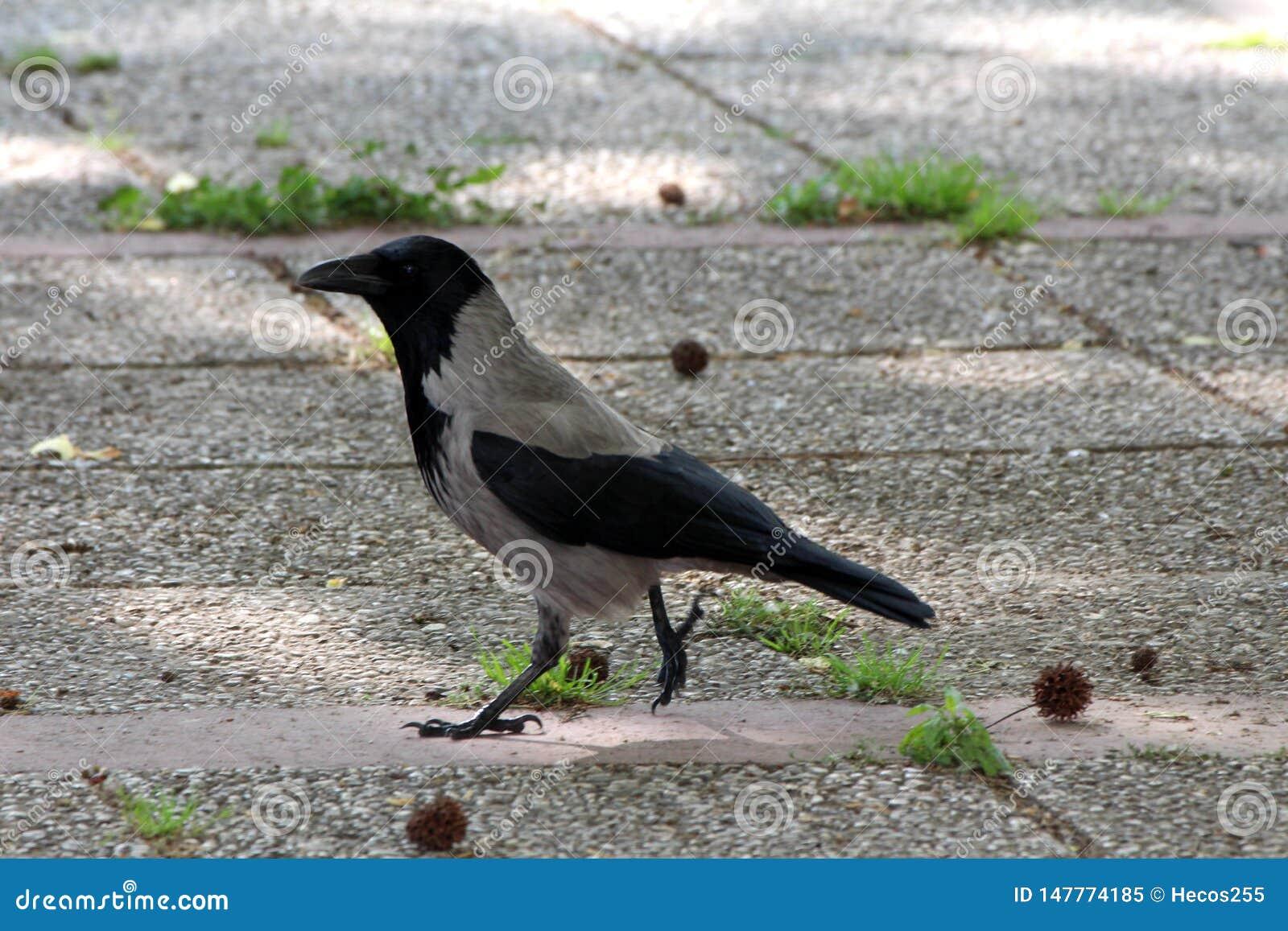 Corvo encapuçado ou cornix do Corvus ou Hoodie cinzento e pássaro pequeno preto que anda calmamente nas telhas de pedra na máscar
