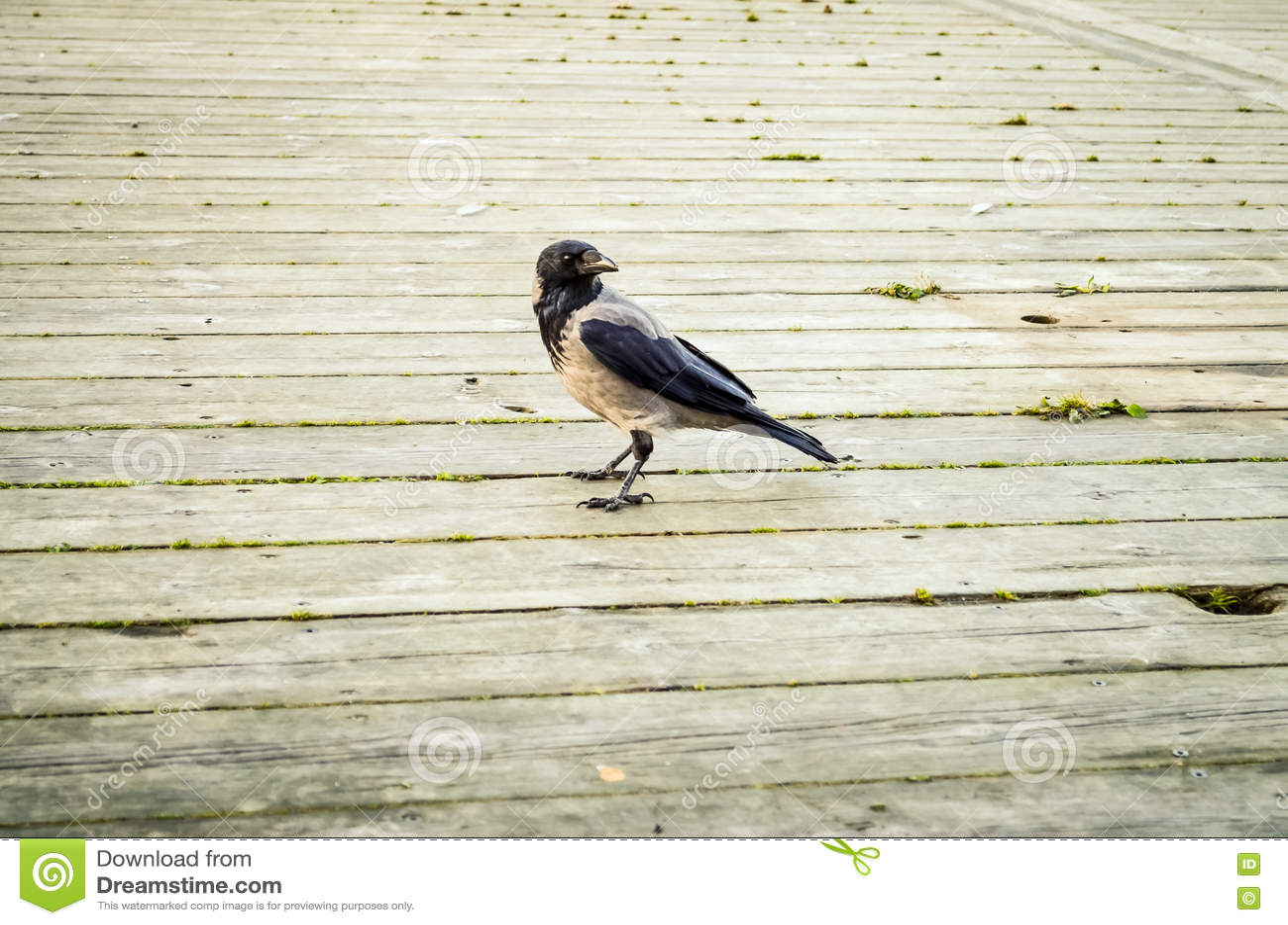 Corvo preto que anda sobre o assoalho de madeira