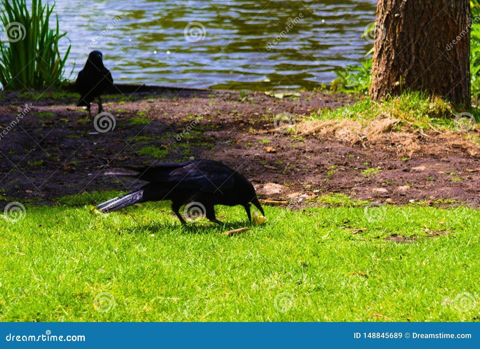 Corvo que rouba o alimento dos patos recém-nascidos do bebê