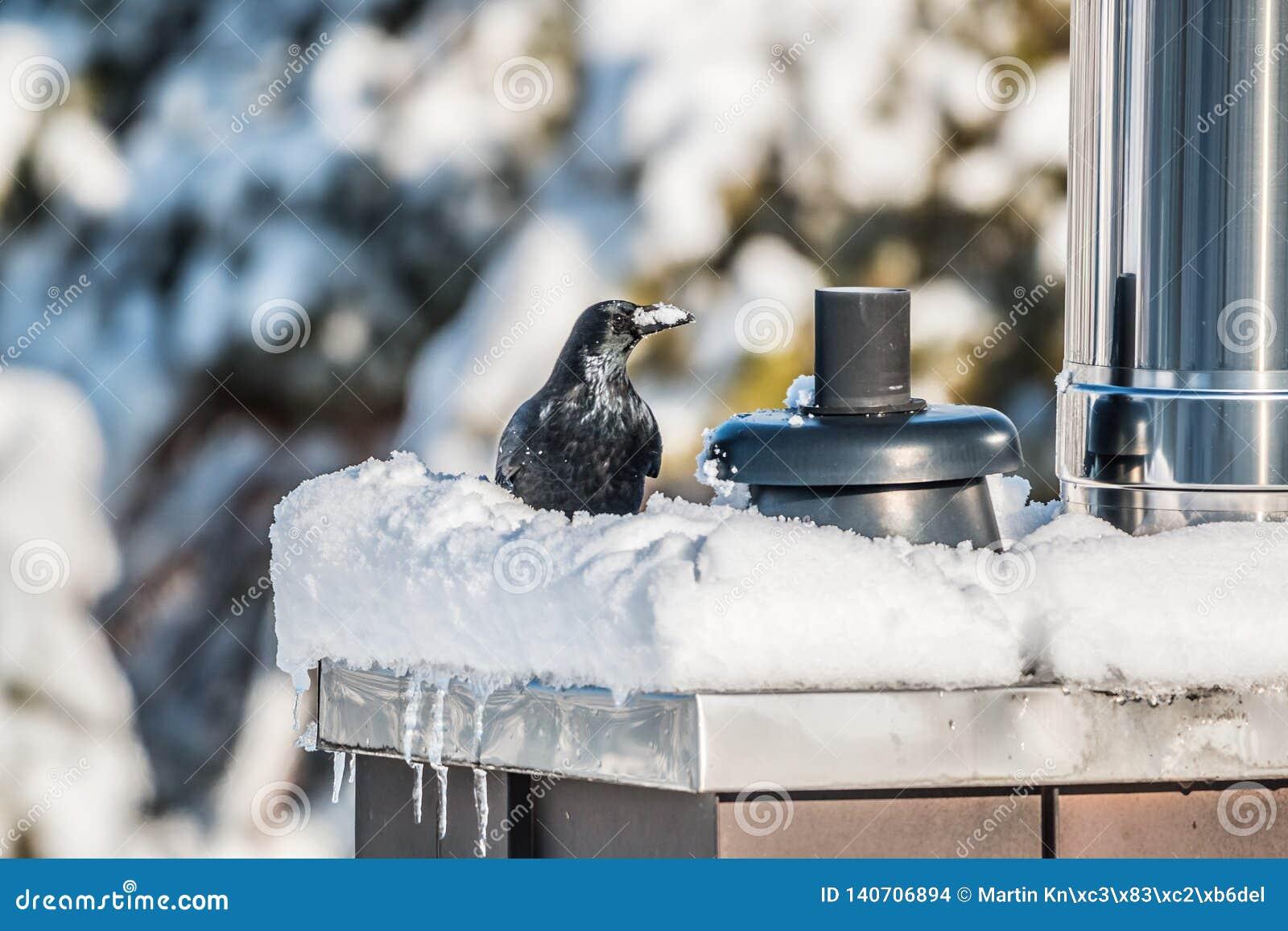 Corvo que senta-se em uma chaminé coberto de neve