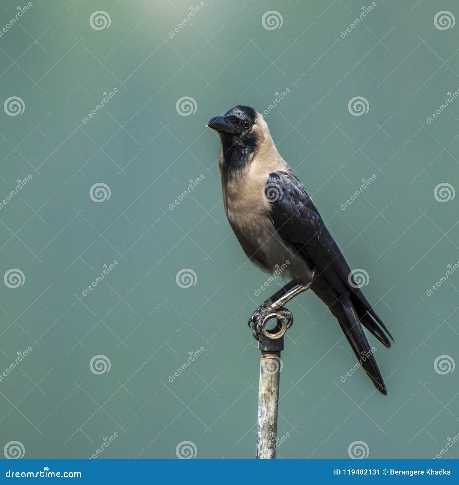 Corvus splendens, Glanzkrähe, die auf einem Pfosten in Nepal steht
