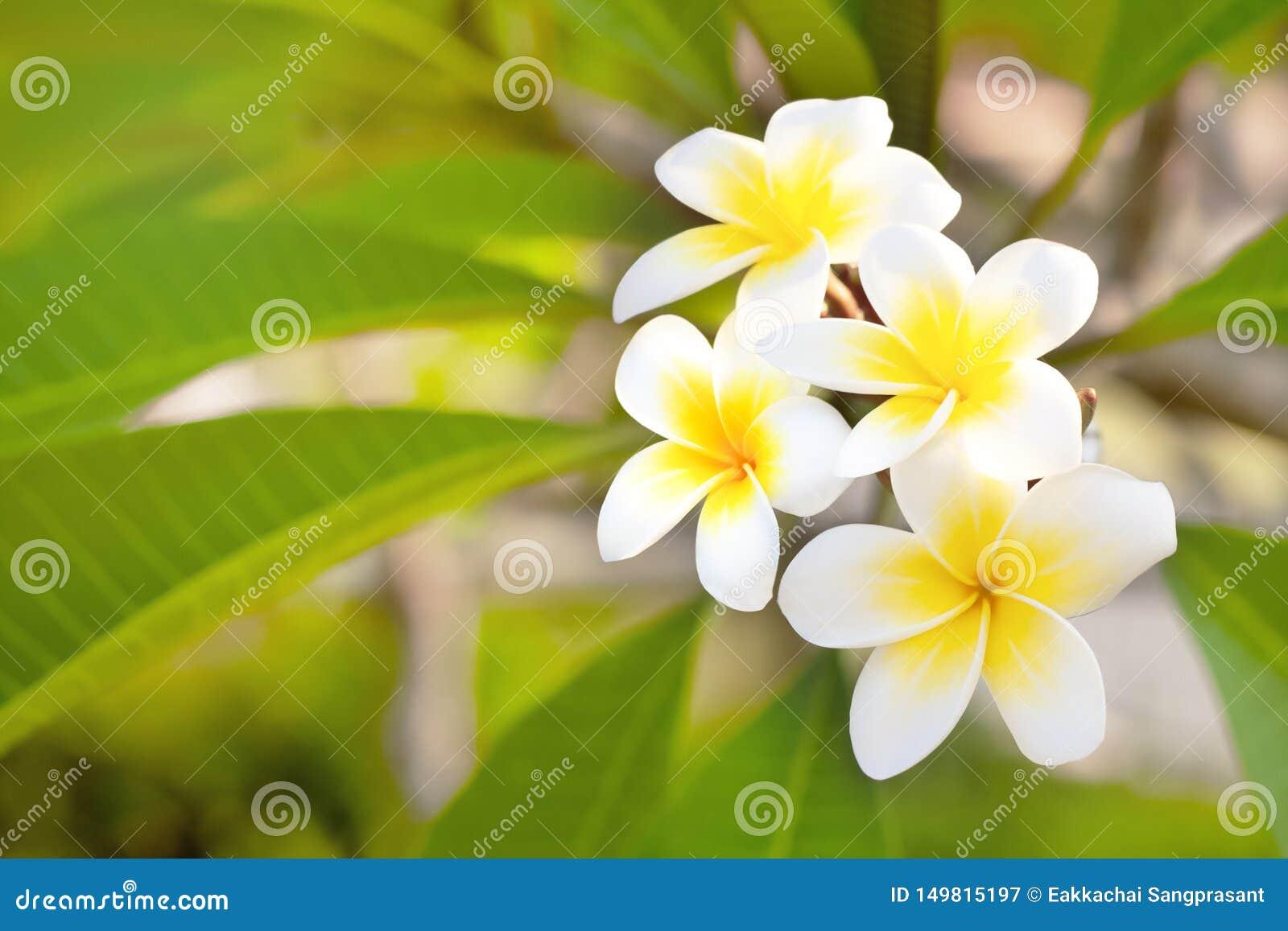 Cory空间,与异乎寻常的热带frangipanni种类羽毛的黄色中心的美妙的芬芳纯净的白色有气味的绽放