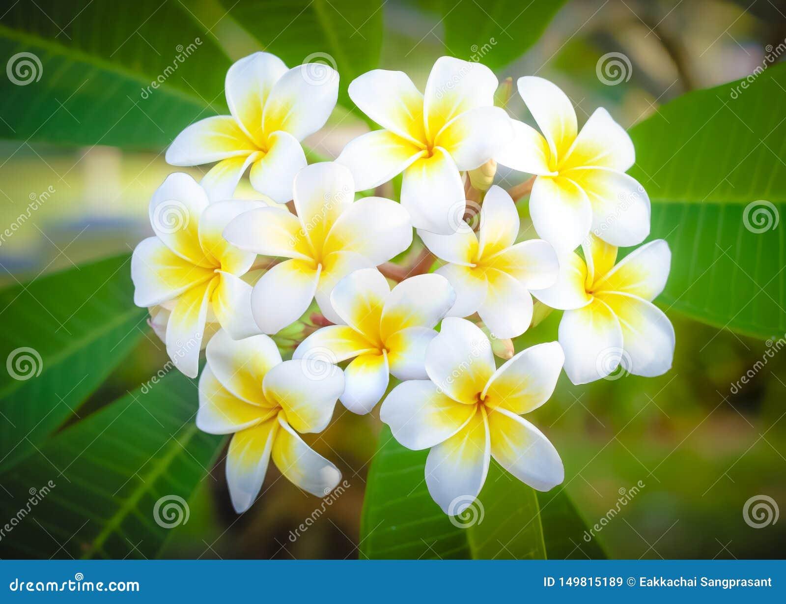 Cory ruimte, Fabelachtige geurige zuivere witte bemerkte bloei met gele centra van exotische tropische plumeria van frangipannisp