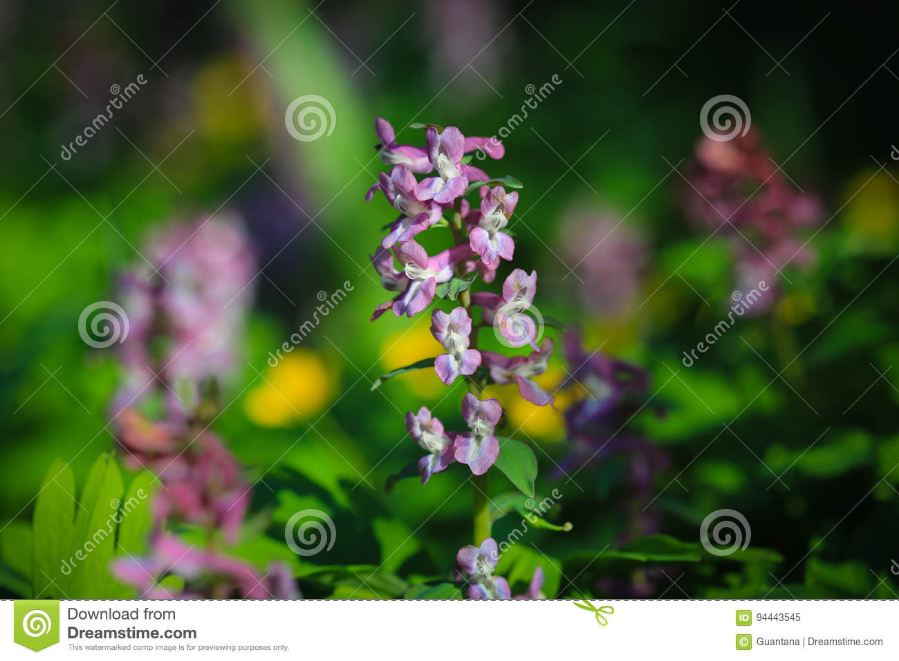 Corydalis Cava Stock Image Image Of Corydalis Closeup 94443545