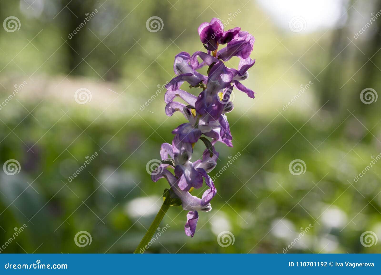 Corydalis Cava Violet Spring Flower In Bloom Stock Photo Image Of
