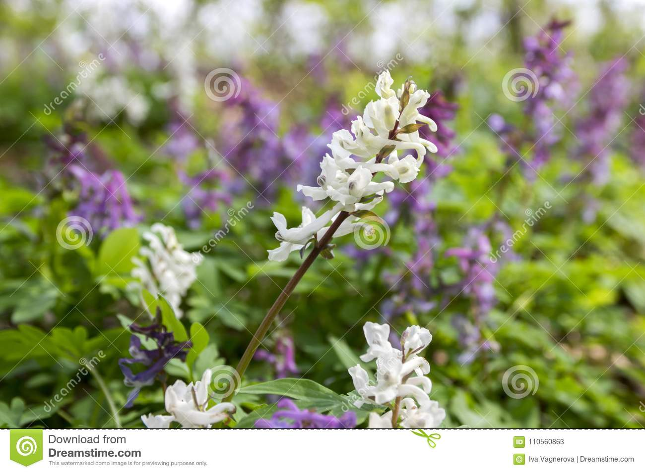 Corydalis Cava White And Purple Spring Flowers In Bloom Stock Image