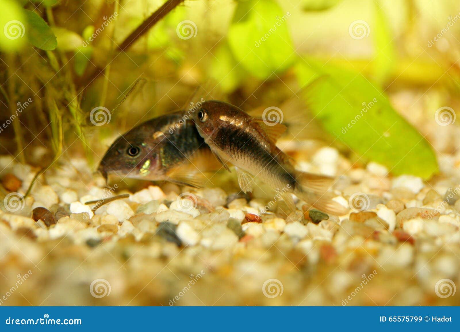 Corydoras de bronze (aeneus de Corydoras)