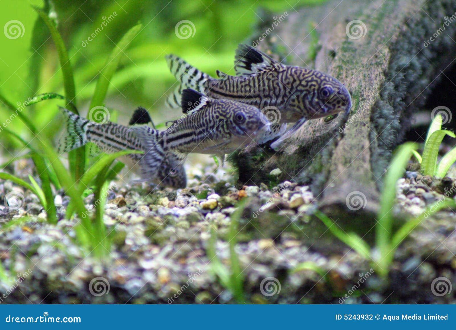 Three Corydoras Trinilleatus Catfish, tropical aquarium fish. Space ...
