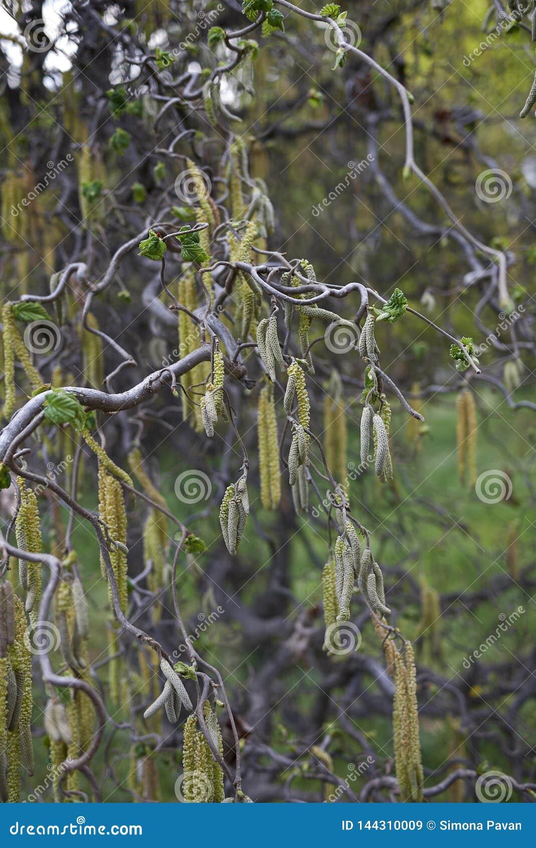 Corylus avellana contorta w kwiacie