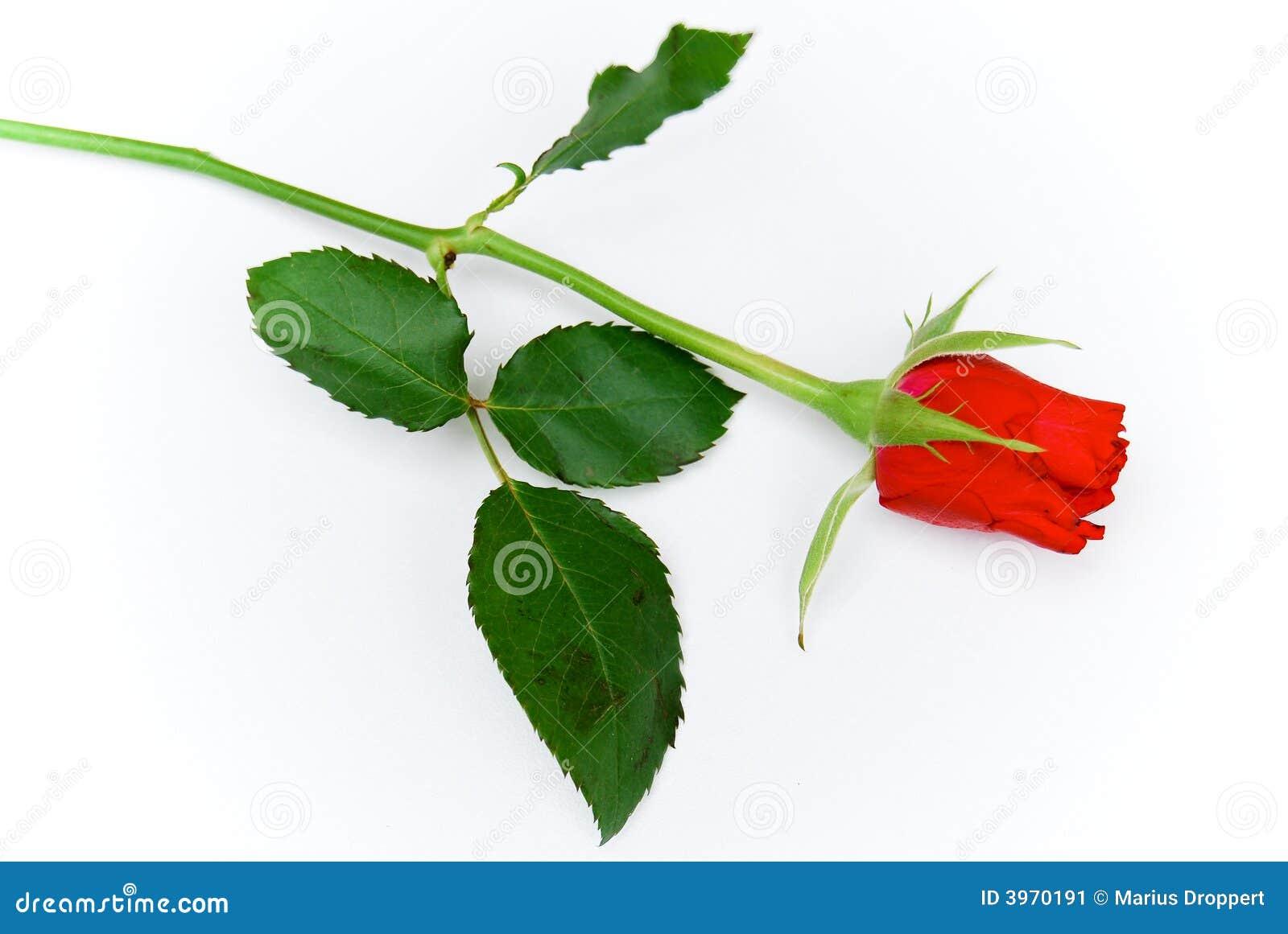 Cose玫瑰总额