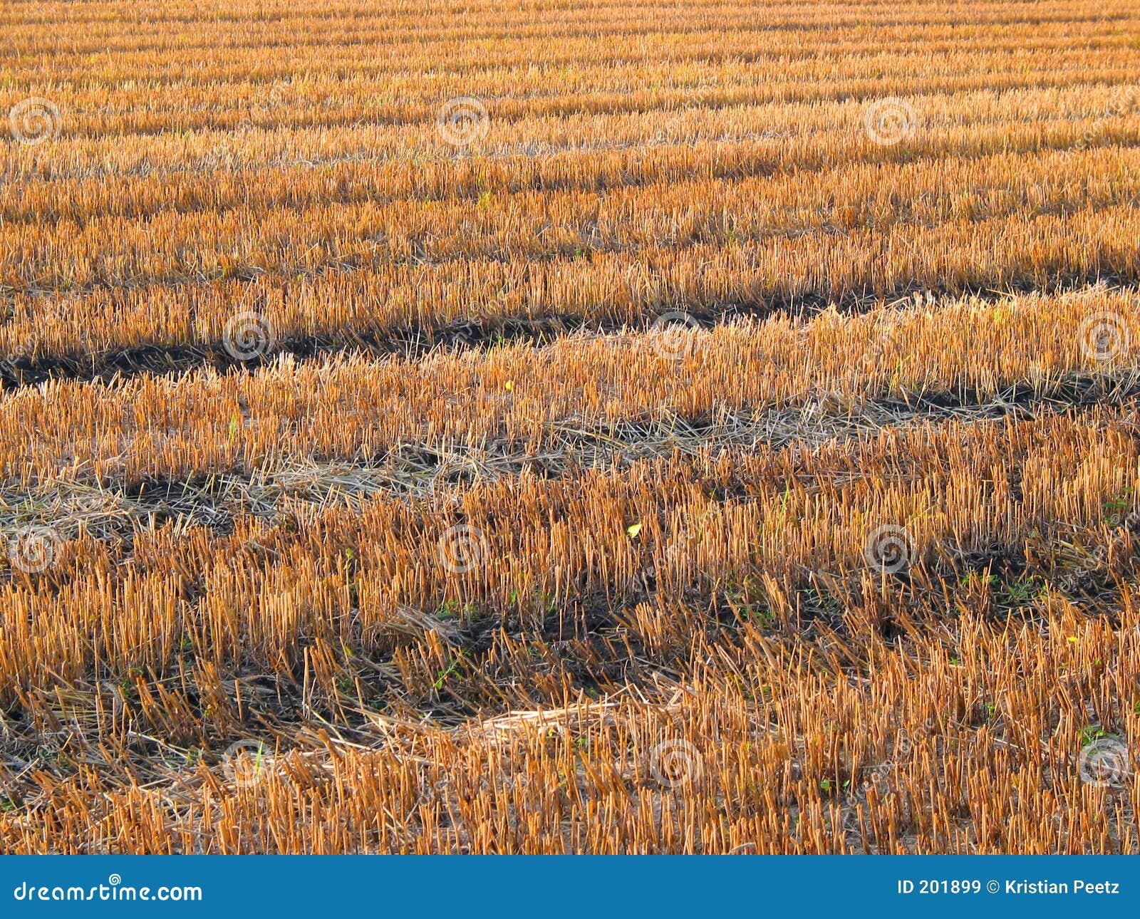 Cosecha-campo hermoso (del mismo tamaño)