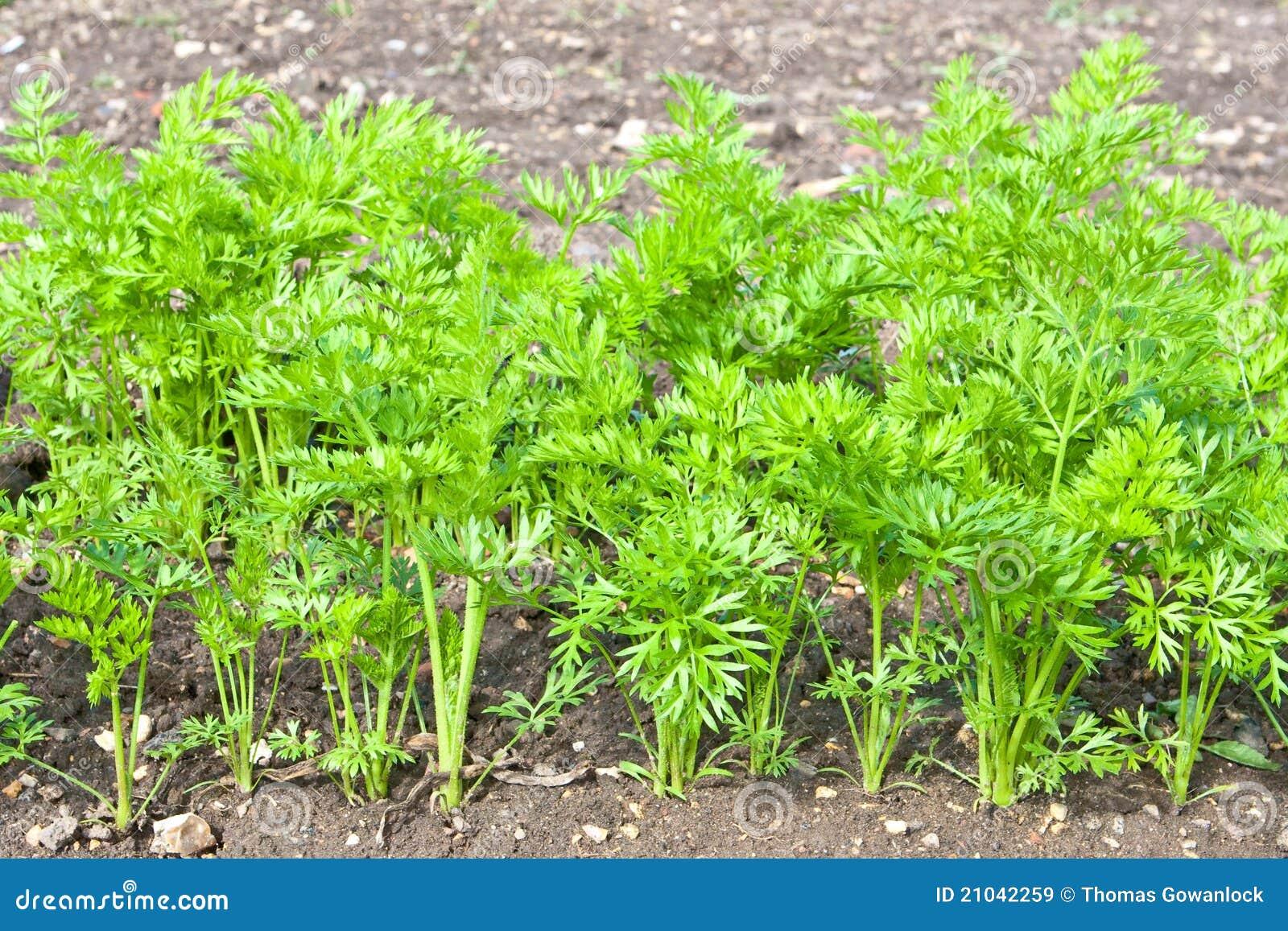 Cosecha de la zanahoria im genes de archivo libres de for Abono para las plantas de jardin