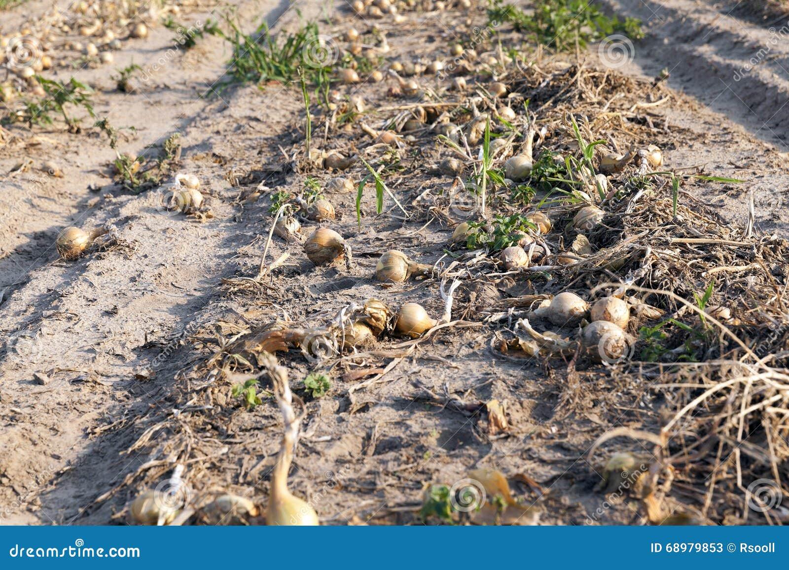 Cosecha del campo de la cebolla