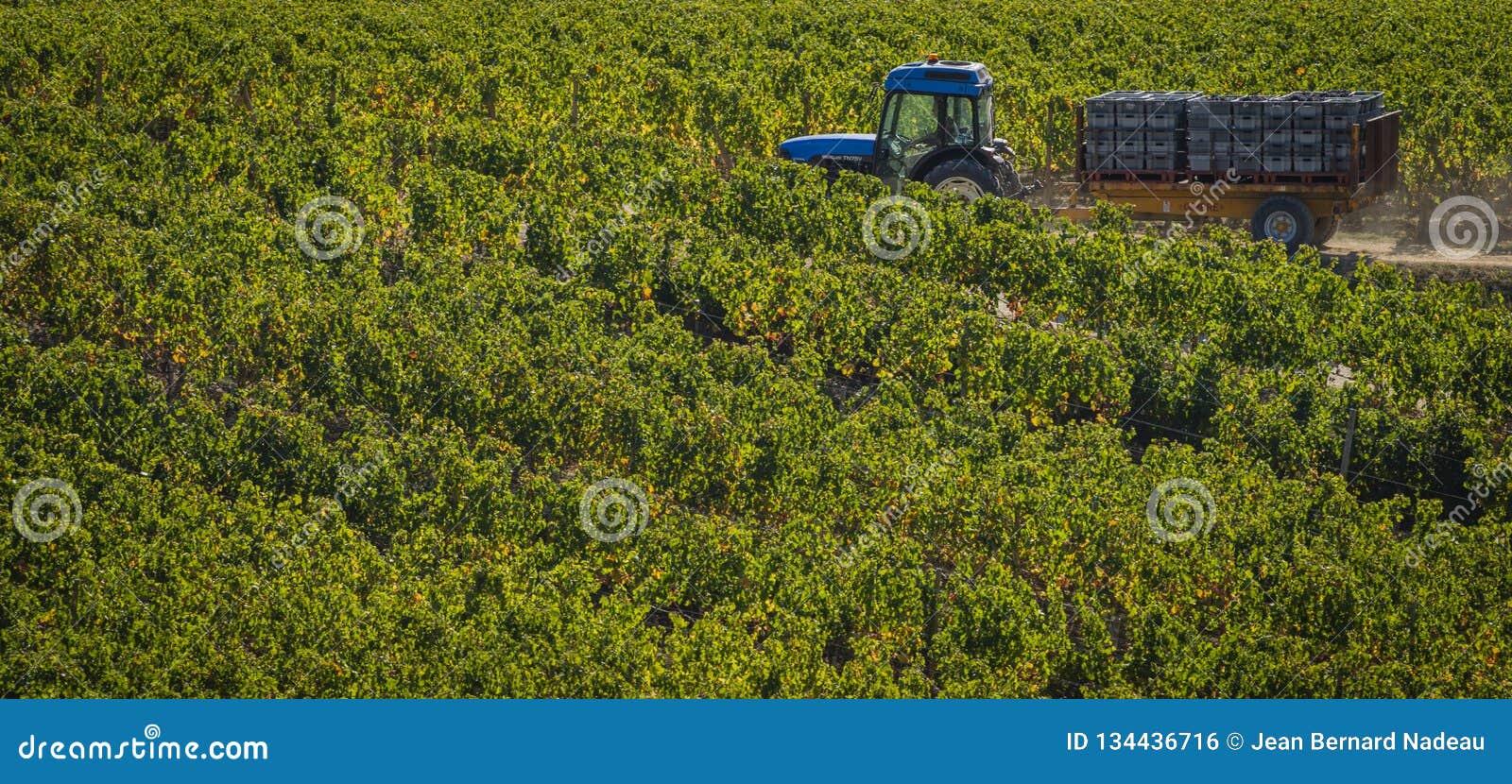 Cosecha manual en el viñedo de Burdeos