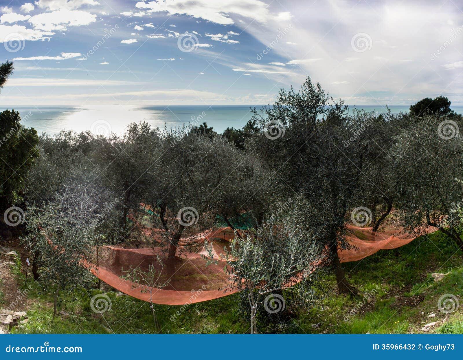 Cosecha verde oliva