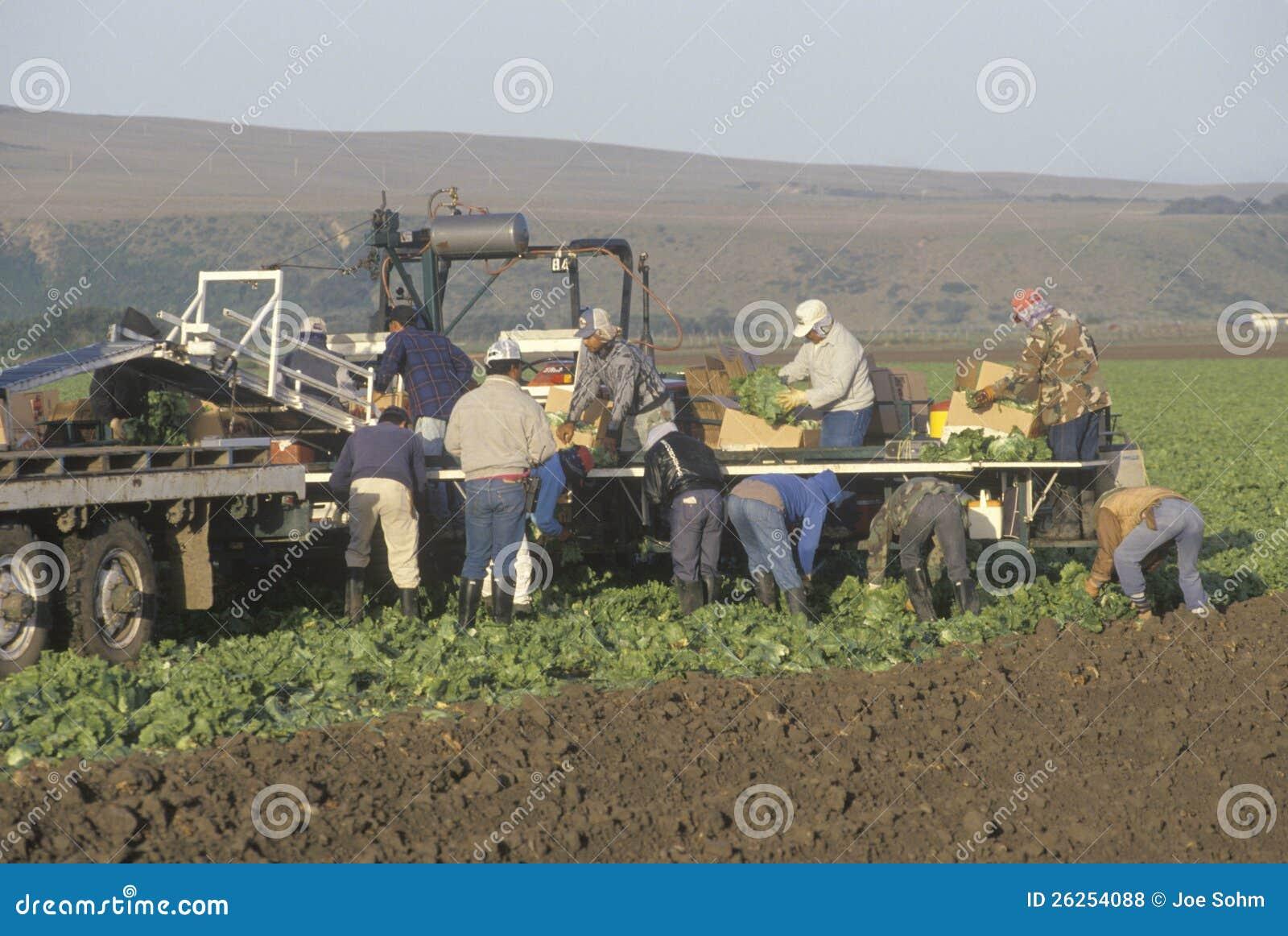 Cosechas de la cosecha de los trabajadores emigrantes