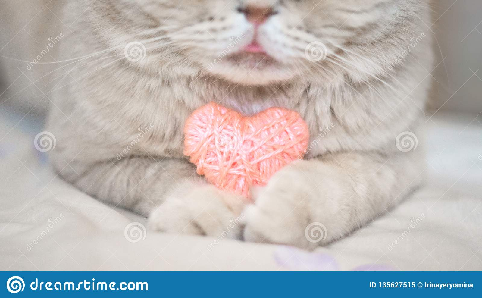 Cosiness, love, Valentine s Day concept. Pink heart in the paws of cat close up. The Scottish cream tabby cat with pink heart in