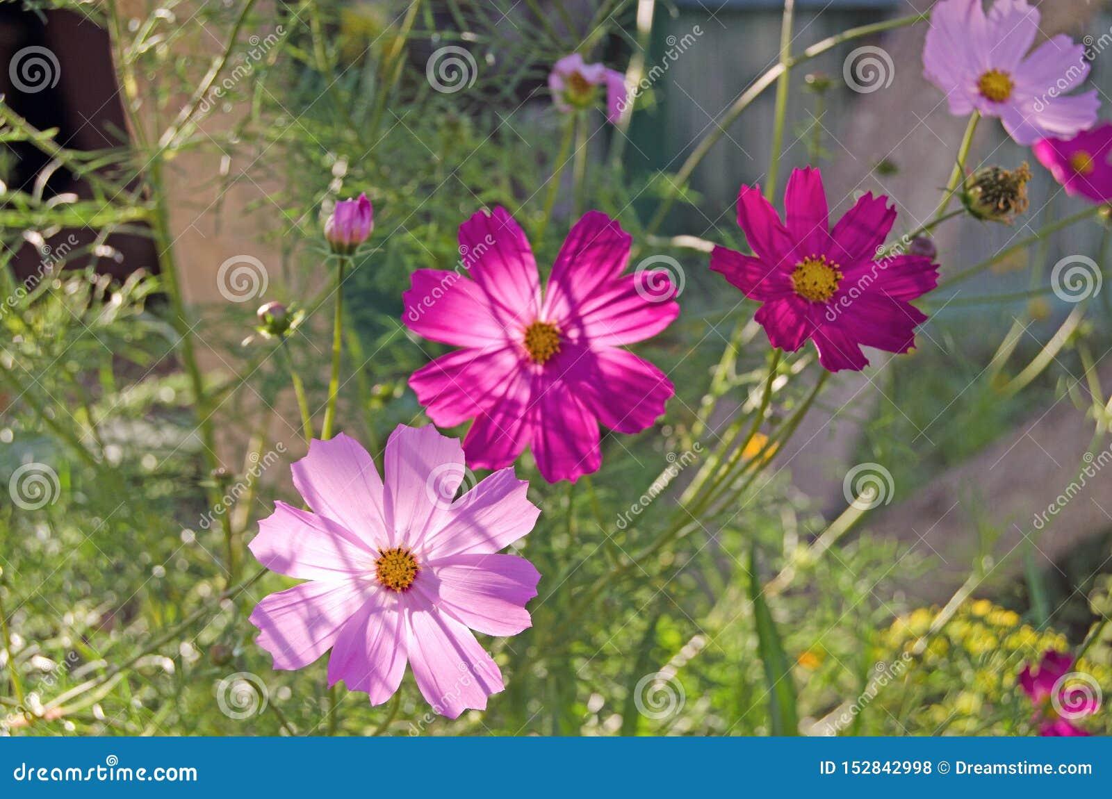 Cosmea ogród Lato zielenie i kwiaty