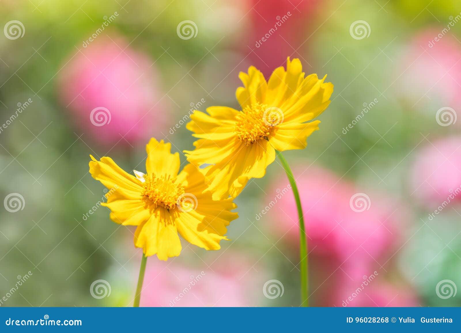 Cosmee jest żółty na różowym zielonym tle