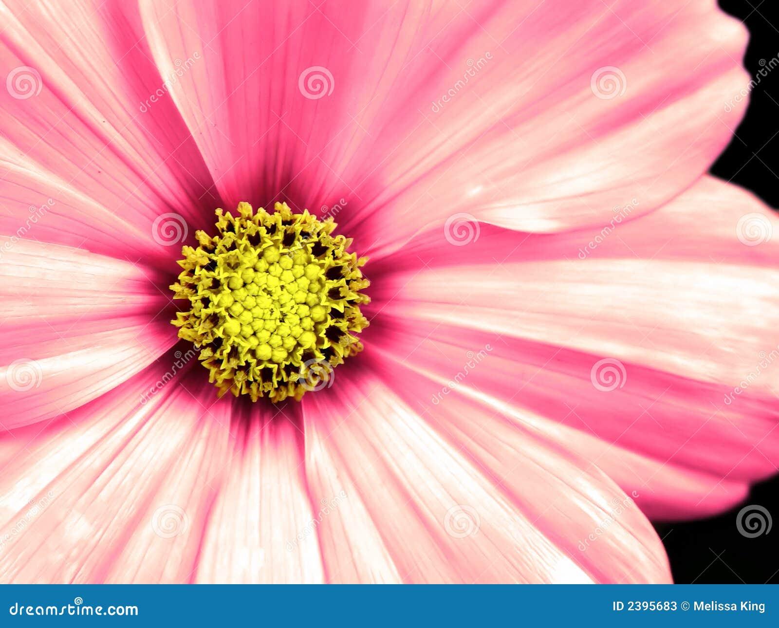 Botanical Print Wallpaper Cosmo Flower Taken Closeup Stock Photos Image 2395683