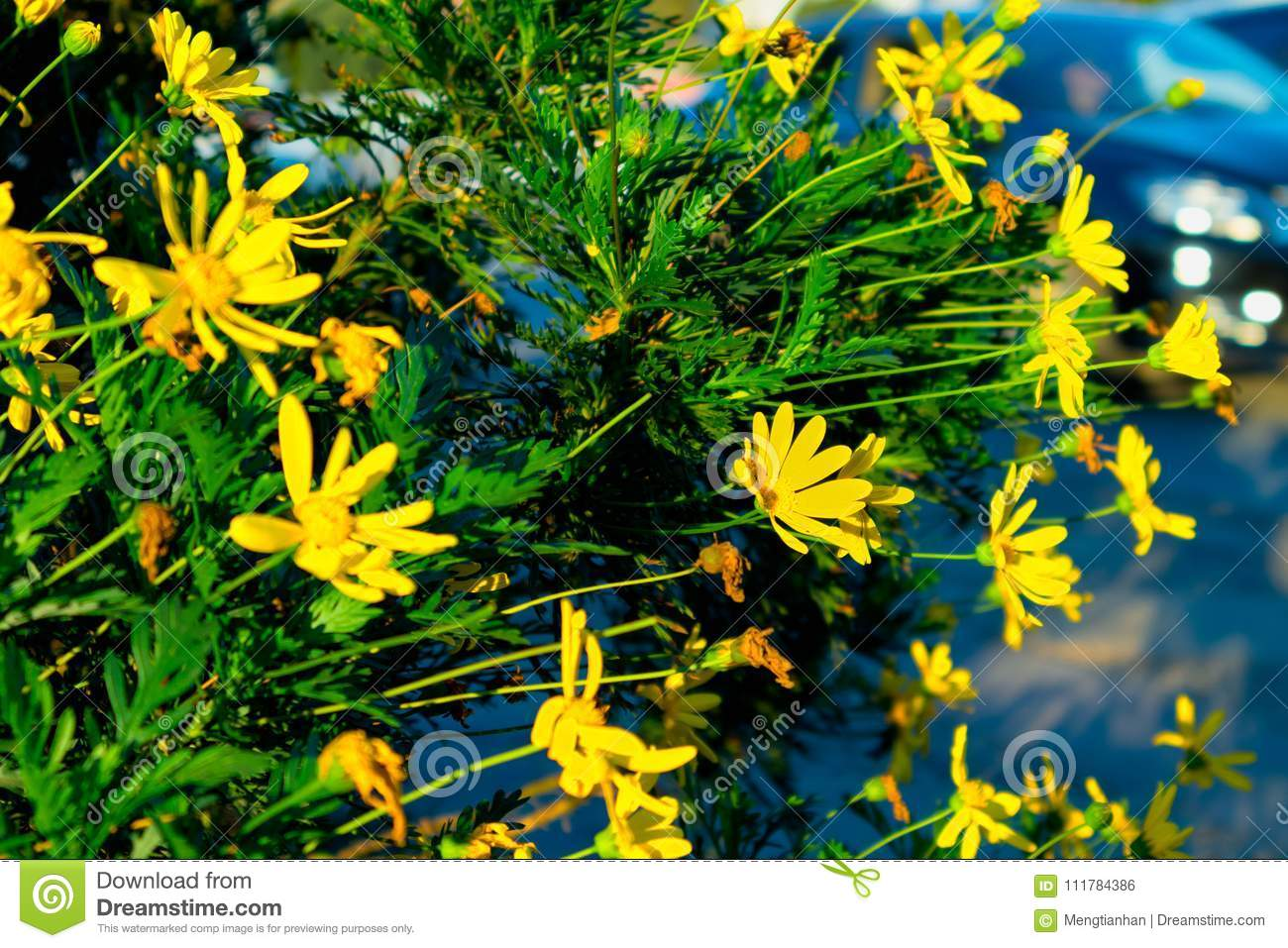 On the roadside wild calliopsis stock photo image of orchid the cosmos is an annual or perennial herb the root fusiform multiple roots or near stem base with adventitious roots stems glabrous or slightly pilose izmirmasajfo