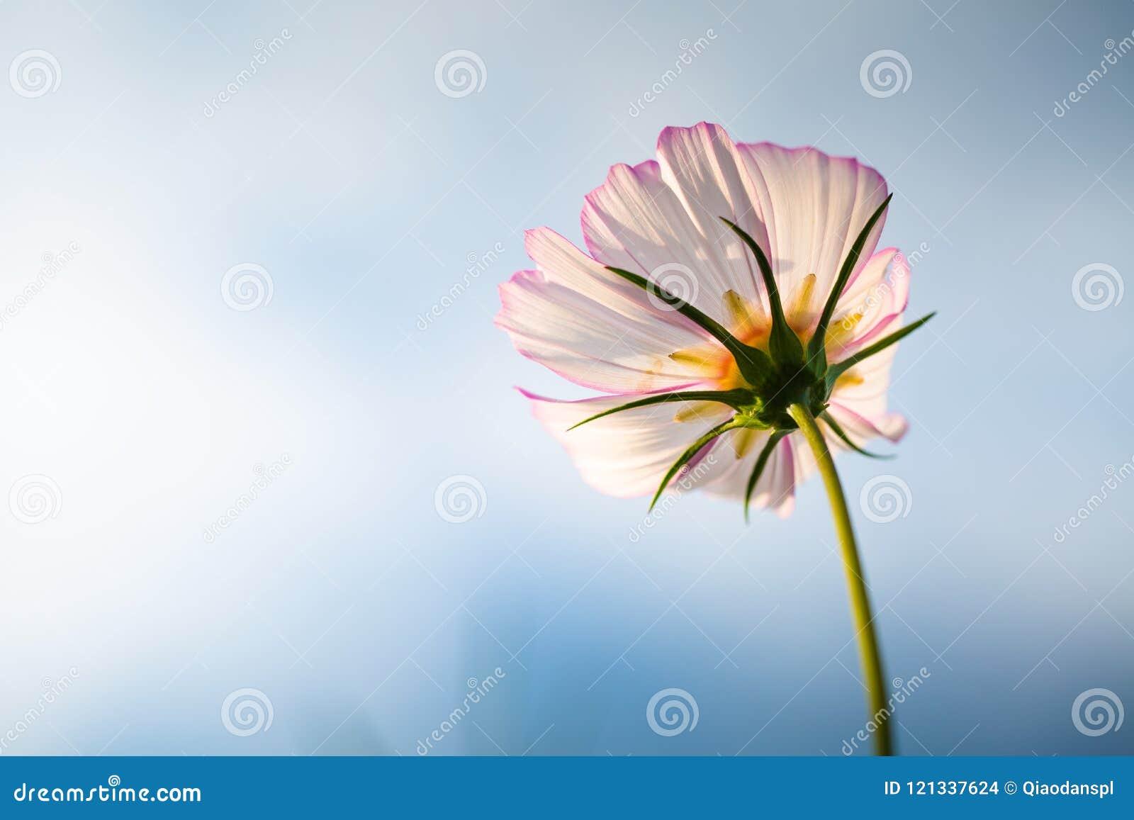 Cosmos bipinnata cav flower stock photo image of leaves green cosmos bipinnata cav flower izmirmasajfo