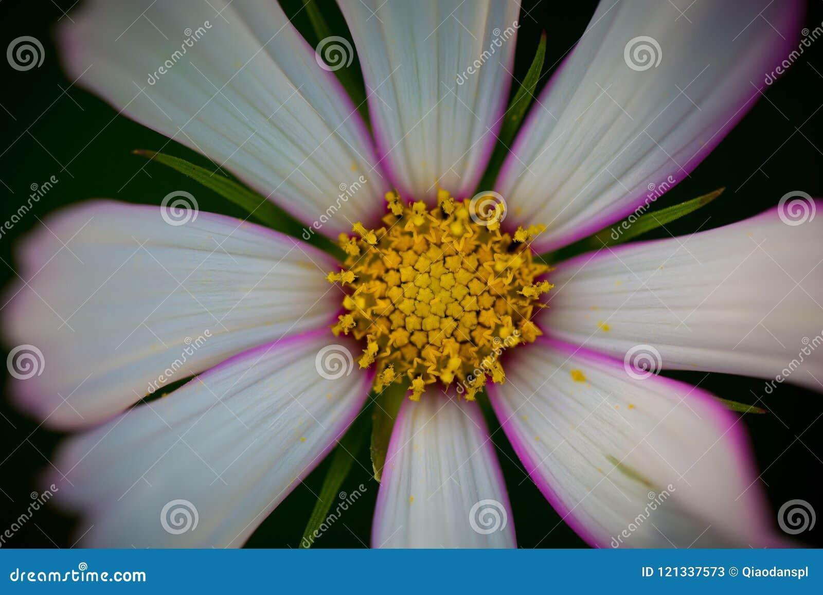Cosmos bipinnata cav flower stock image image of eighteenth also cosmos bipinnata cav flower izmirmasajfo