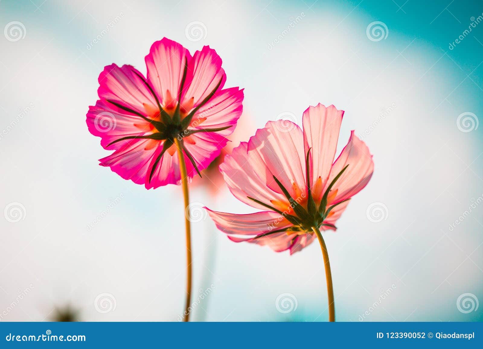 Cosmos bipinnata cav flower pink stock photo image of head flower download cosmos bipinnata cav flower pink stock photo image of head flower 123390052 izmirmasajfo