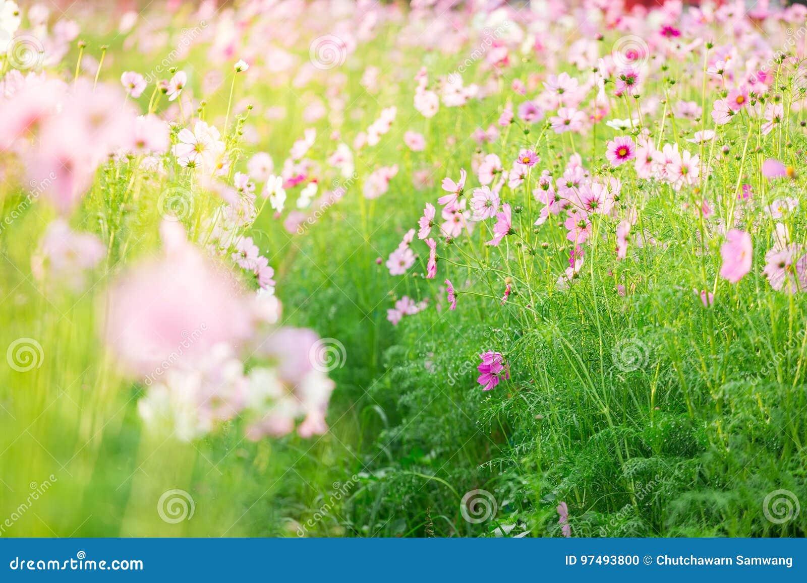 Cosmos bipinnatus del fiore dell universo