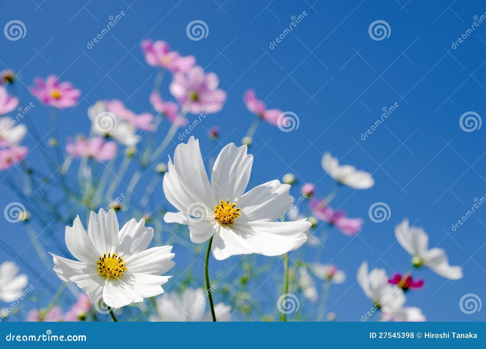 Cosmos blanc et rose
