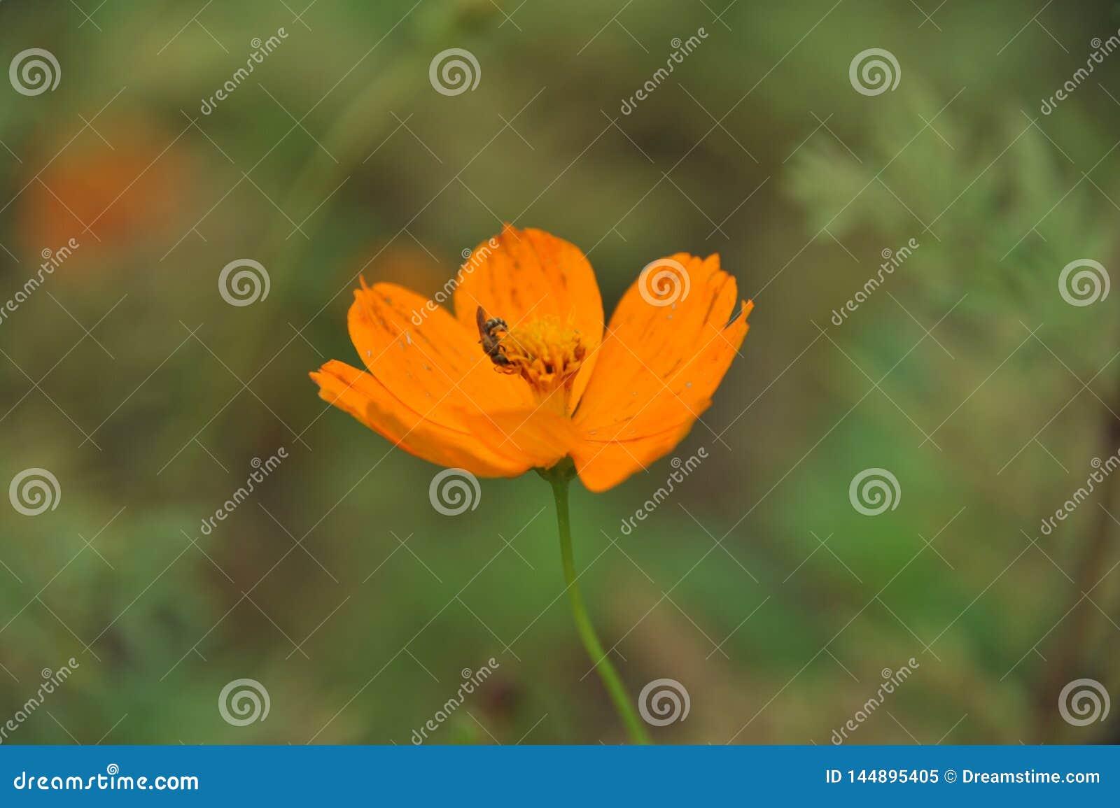 Cosmos et abeille oranges