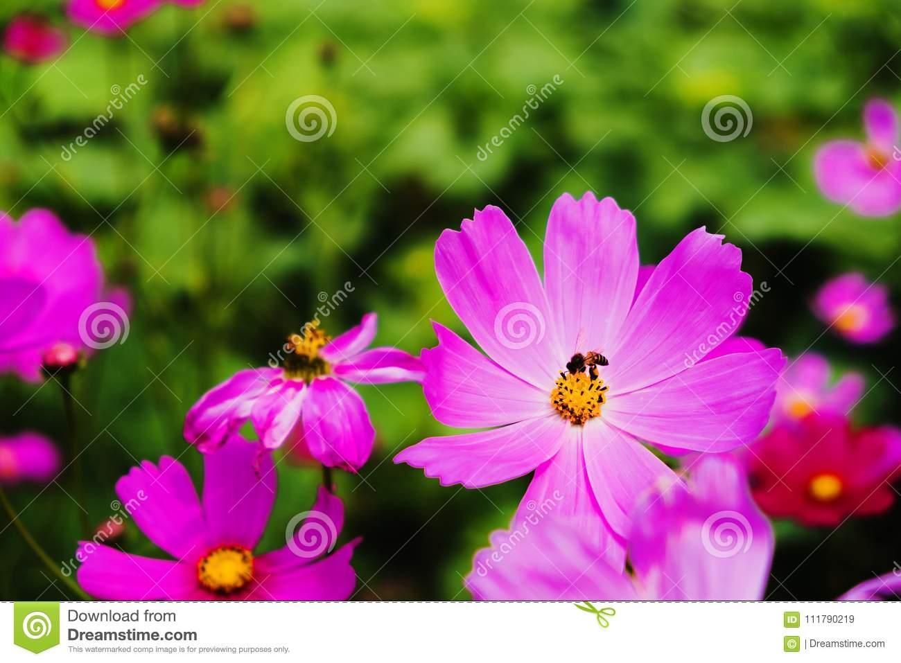Cosmos flower and bee in thailand stock image image of cosmos royalty free stock photo izmirmasajfo Gallery