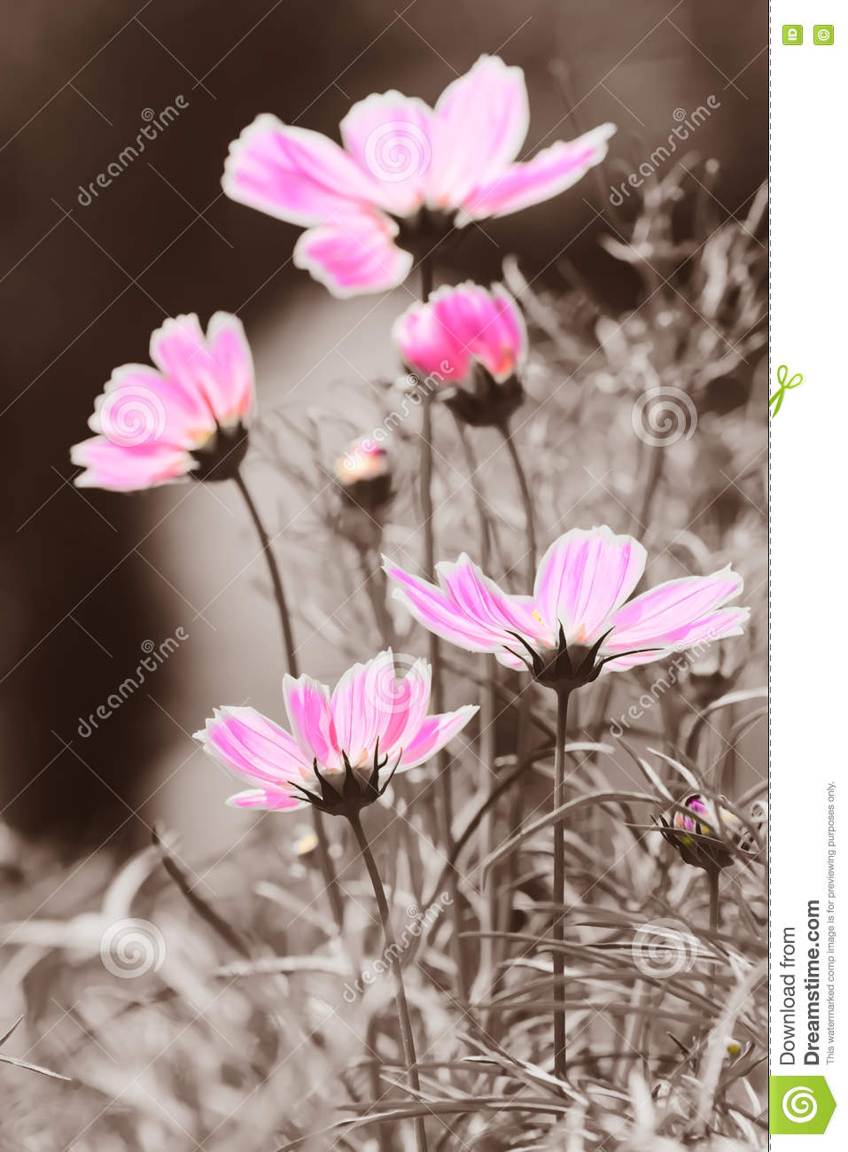 Cosmos Flower In Black And White Background Royalty Free Stock Photo