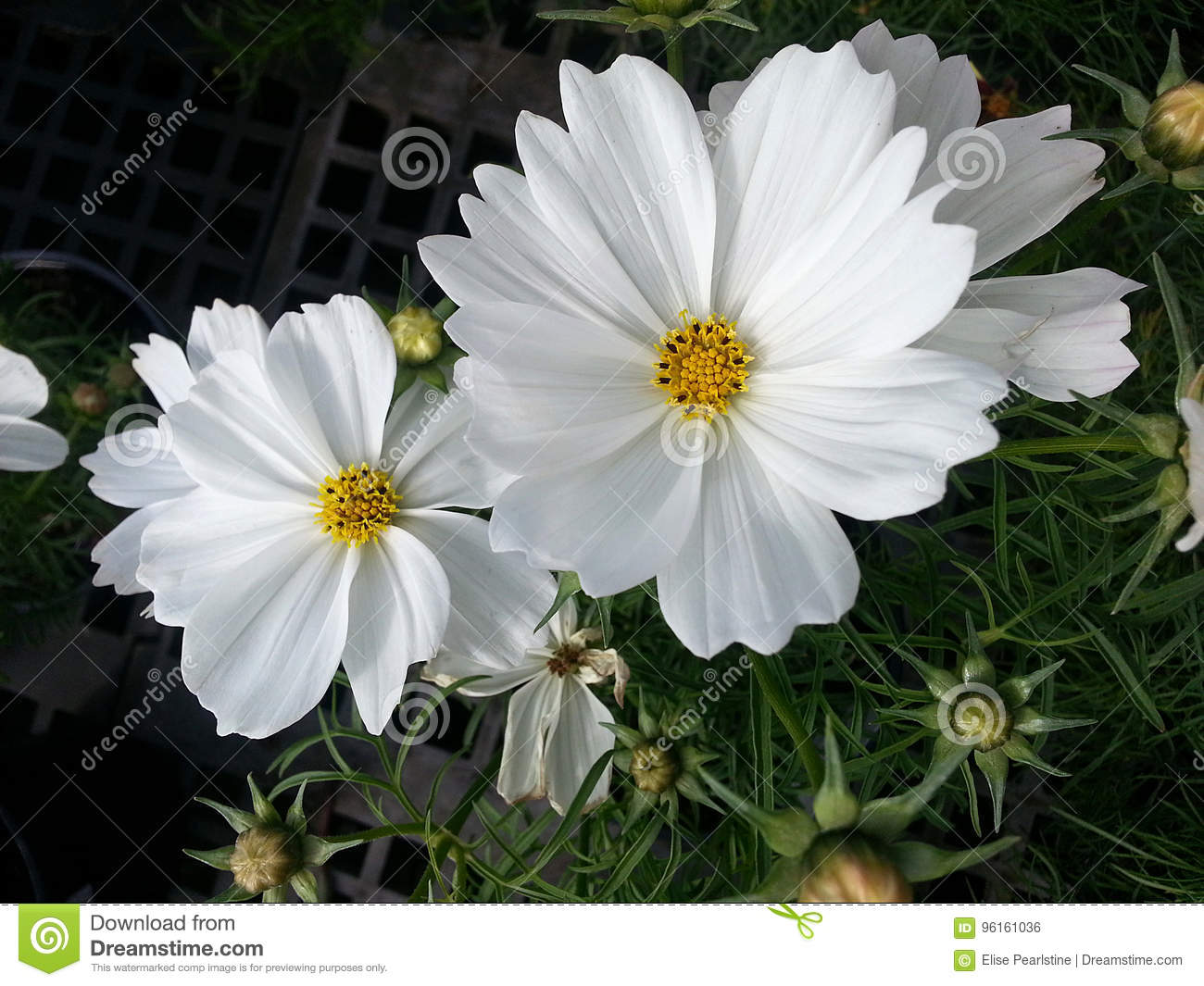 Cosmos Flower Composite With White Petals And Bright Yellow Center
