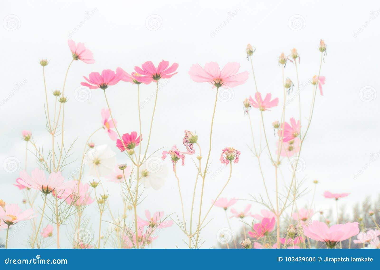 Cosmos flower field beautiful pink flowers stock photo image of cosmos flower field beautiful pink flowers mightylinksfo