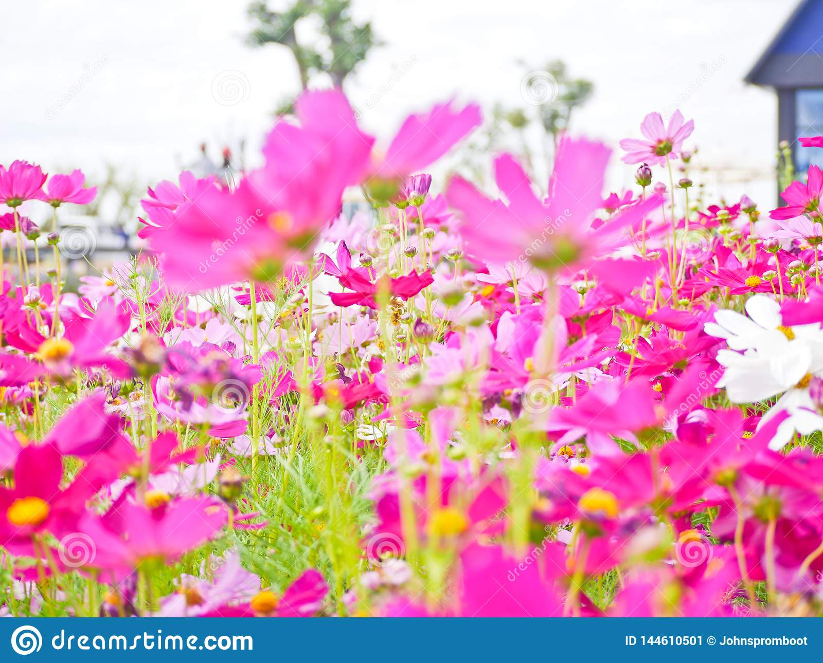 Cosmos flower field the place tourist love to visit.