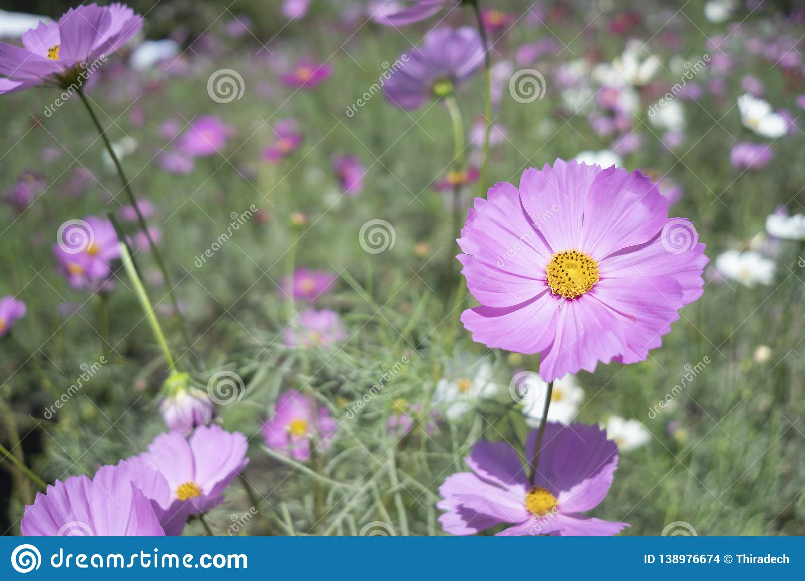 Cosmos Flower Garden Thung Siri. In the middle of the bloom in , Saraburi stock images