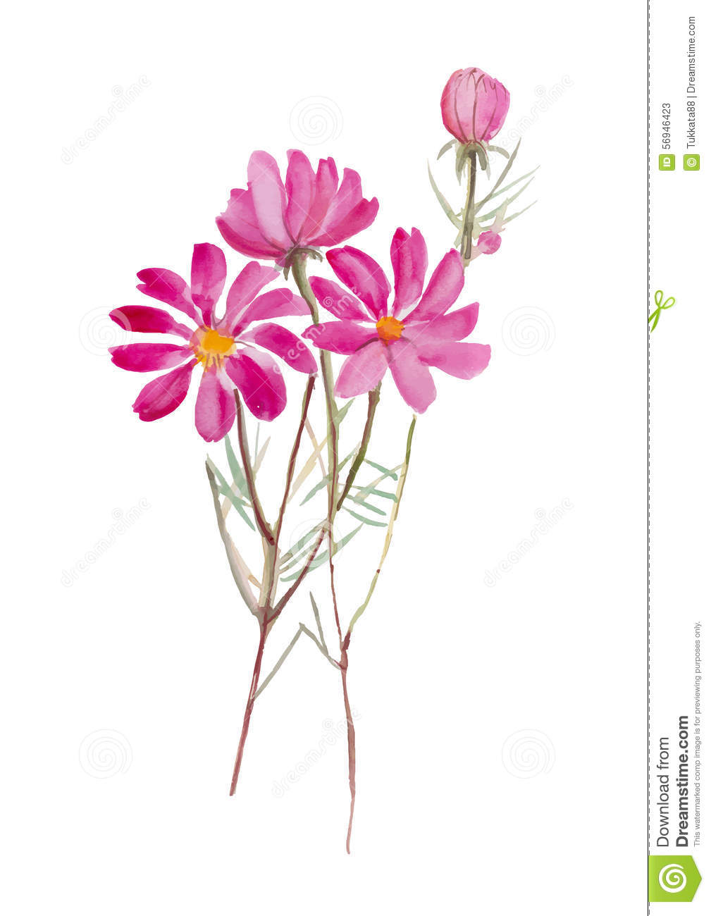 Cosmos Flowerhand Drawn Watercolor Painting On White Background W