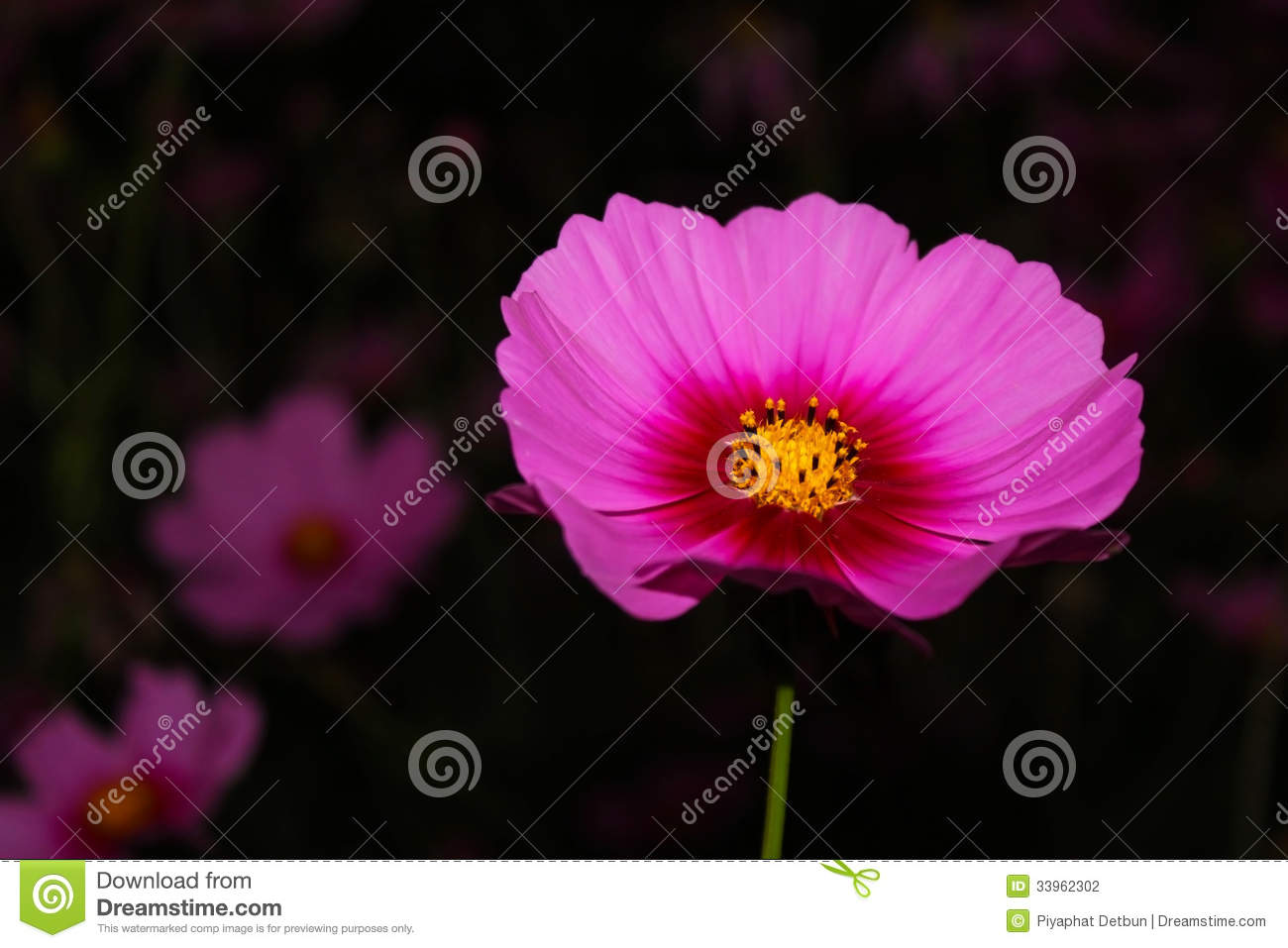 Cosmos Flower Stock Photo Image Of Background Environment 33962302