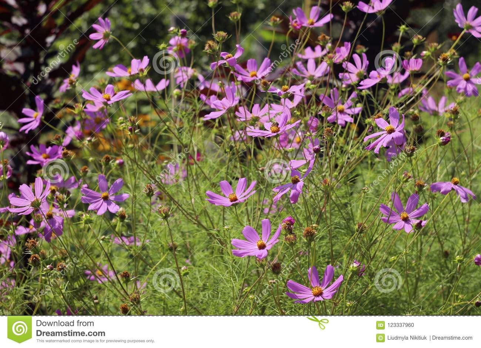 Cosmos flower high pink summer flowers the flowers look like a download cosmos flower high pink summer flowers the flowers look like a daisy stock izmirmasajfo