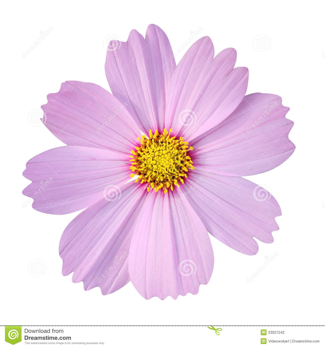 Cosmos Flower Isolated On White Background Stock