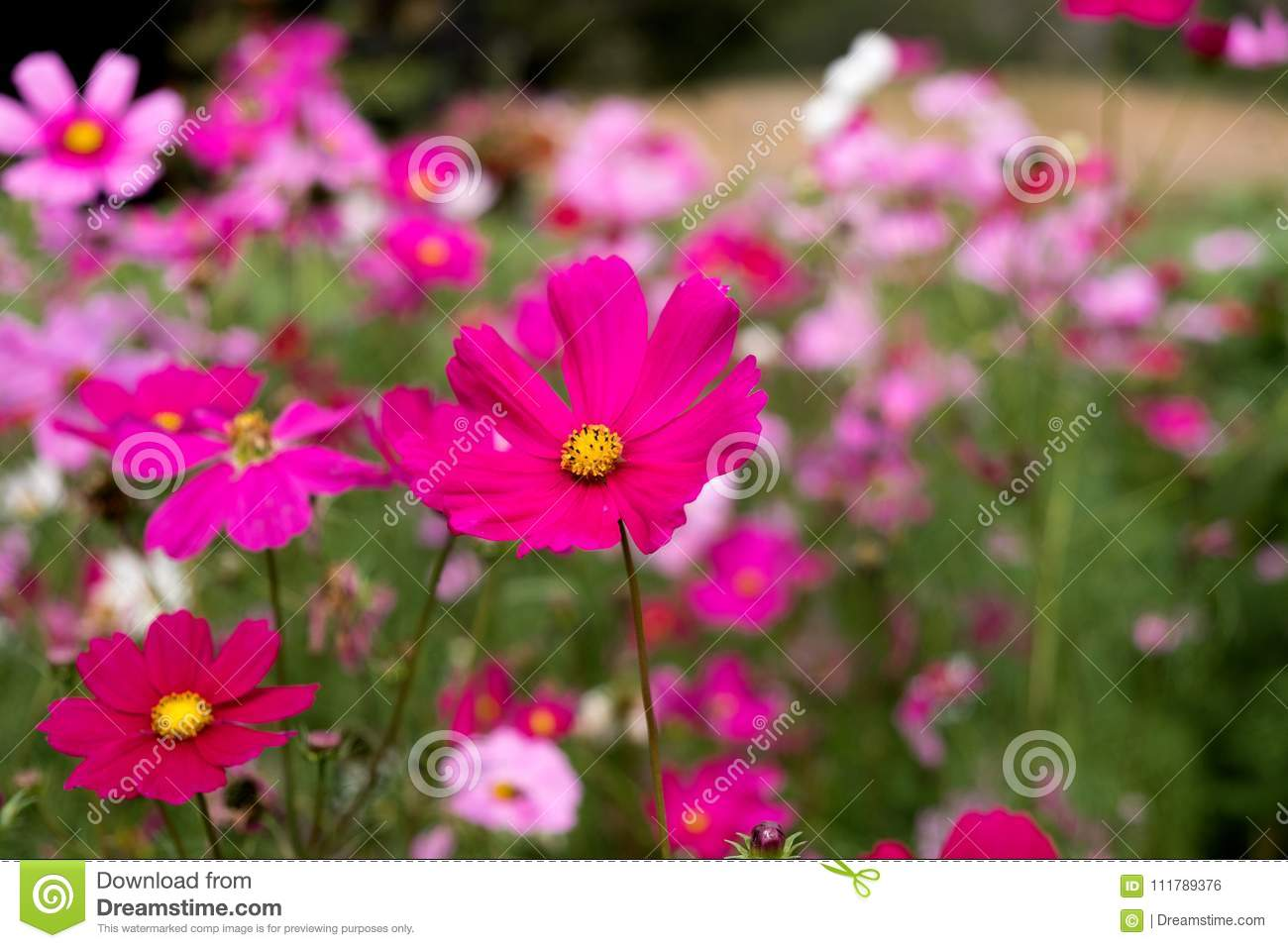 Cosmos flower in thailand stock photo image of simple 111789376 cosmos flower in thailand izmirmasajfo Gallery