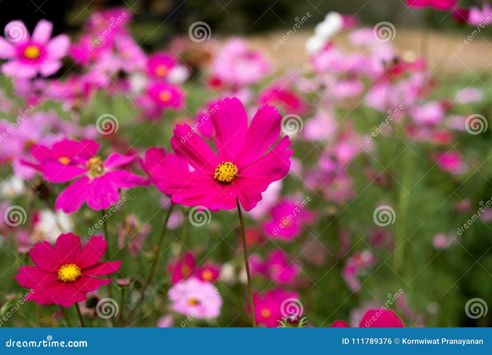 Cosmos flower in thailand stock photo image of simple 111789376 izmirmasajfo