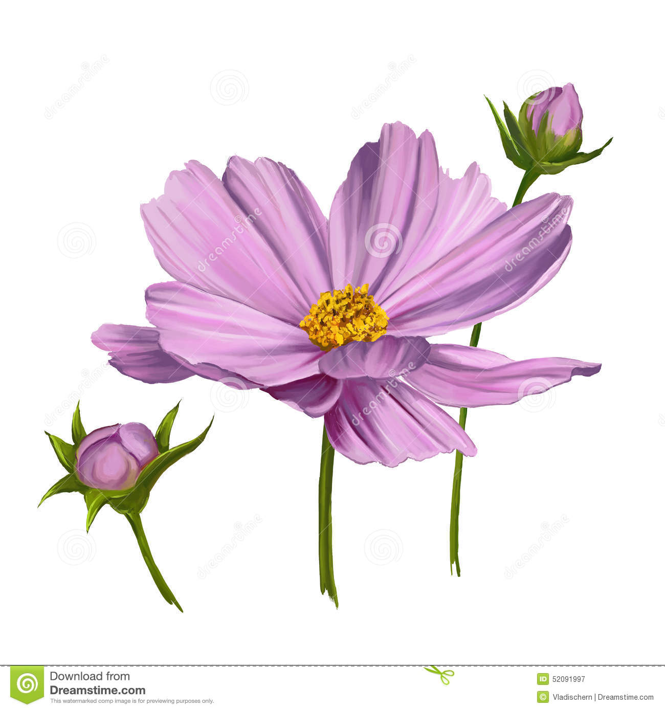 Stock Illustration Cosmos Flower Vector Illustration Painted Hand Drawn Watercolor Image52091997 on Tattoo Designs Free Rose