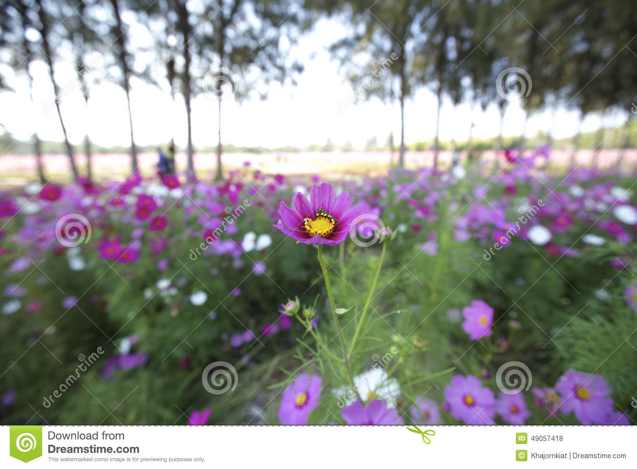 Are cosmos flowers annual or perennial best flower 2017 cosmos flowers stock image of flower single softness izmirmasajfo Gallery