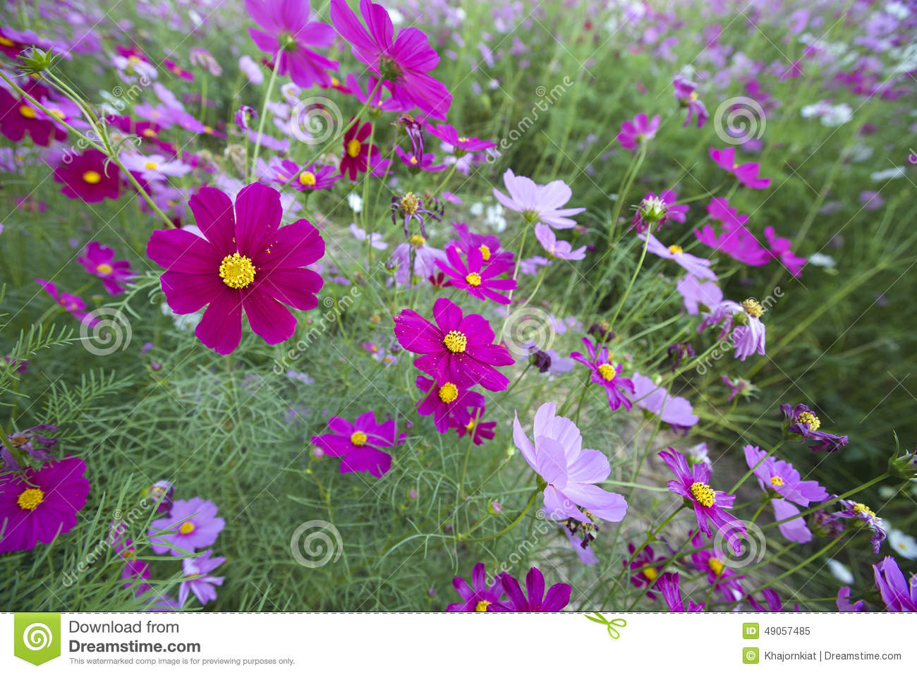 Cosmos Flowers Stock Image Image Of Outdoors Nature 49057485