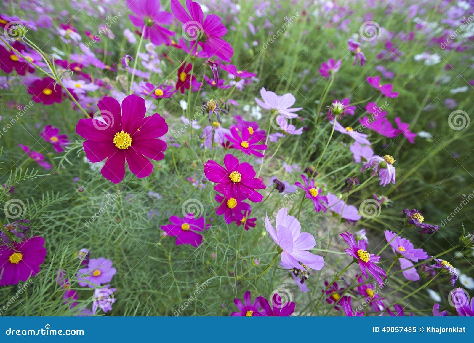 Cosmos flowers stock image image of flower single softness 49057485 royalty free stock photo izmirmasajfo Gallery