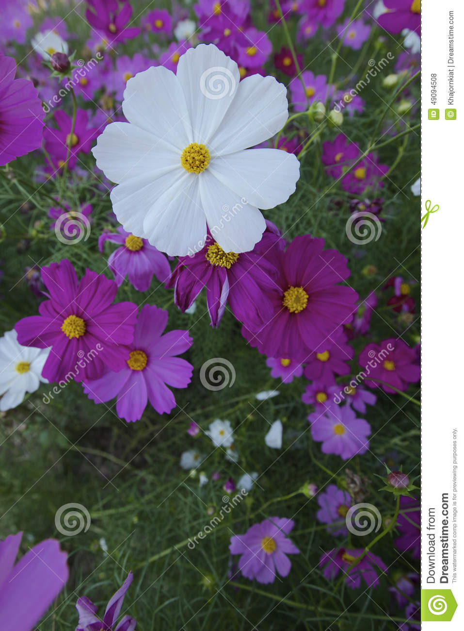 Cosmos Flowers Stock Photo Image Of Perennial Formal 49094508