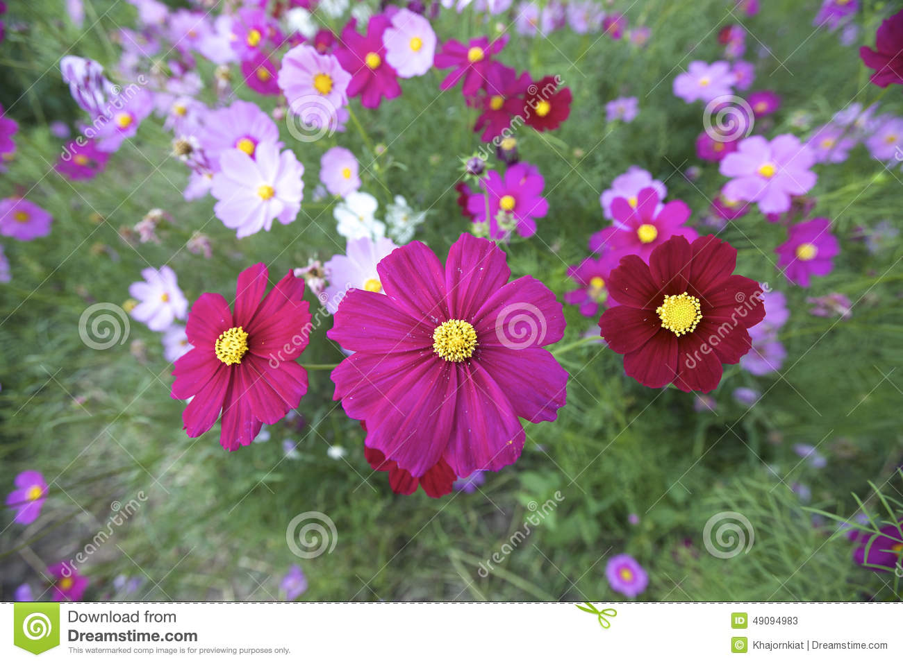 Cosmos Flowers Stock Image Image Of Beauty Cosmos Softness 49094983