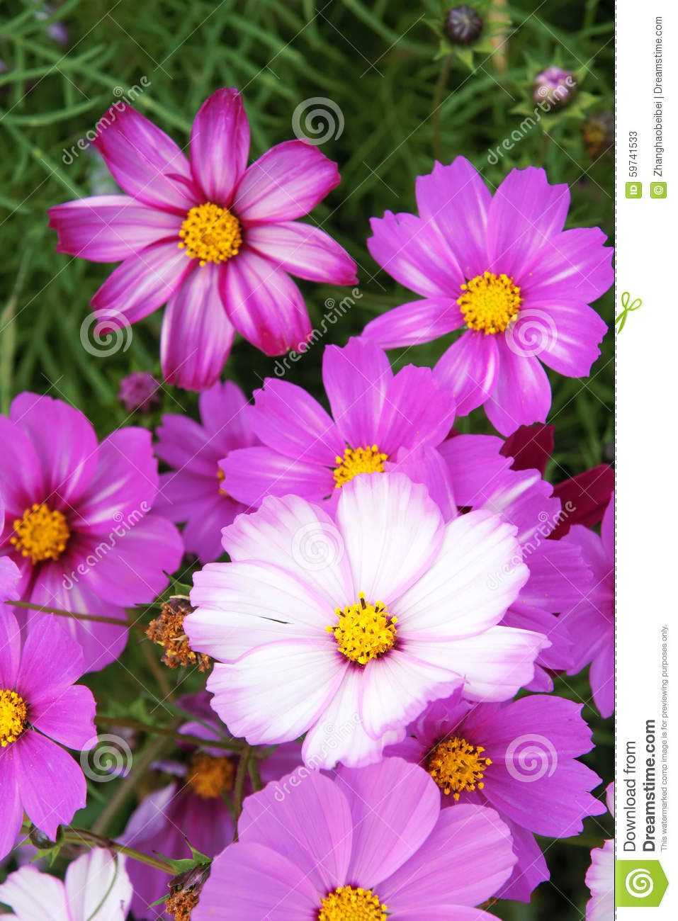 Pink And White Bedroom: Cosmos Flowers Stock Image. Image Of Bipinnata